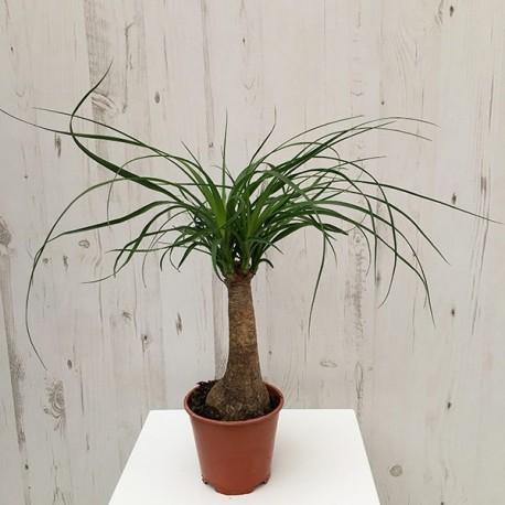 Pony Tail Palm (S)
