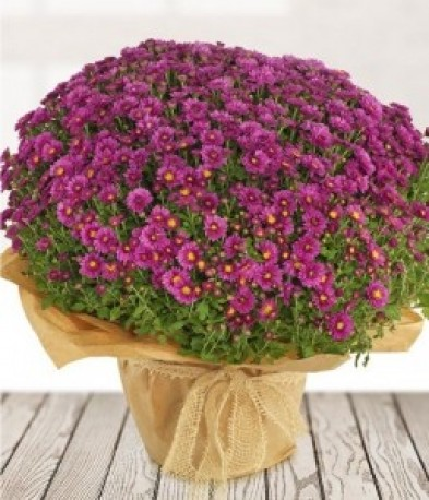 Pot Chrysanthemum