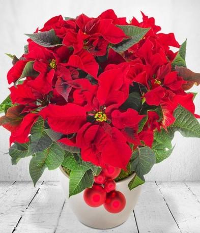 Red Christmas Poinsettia