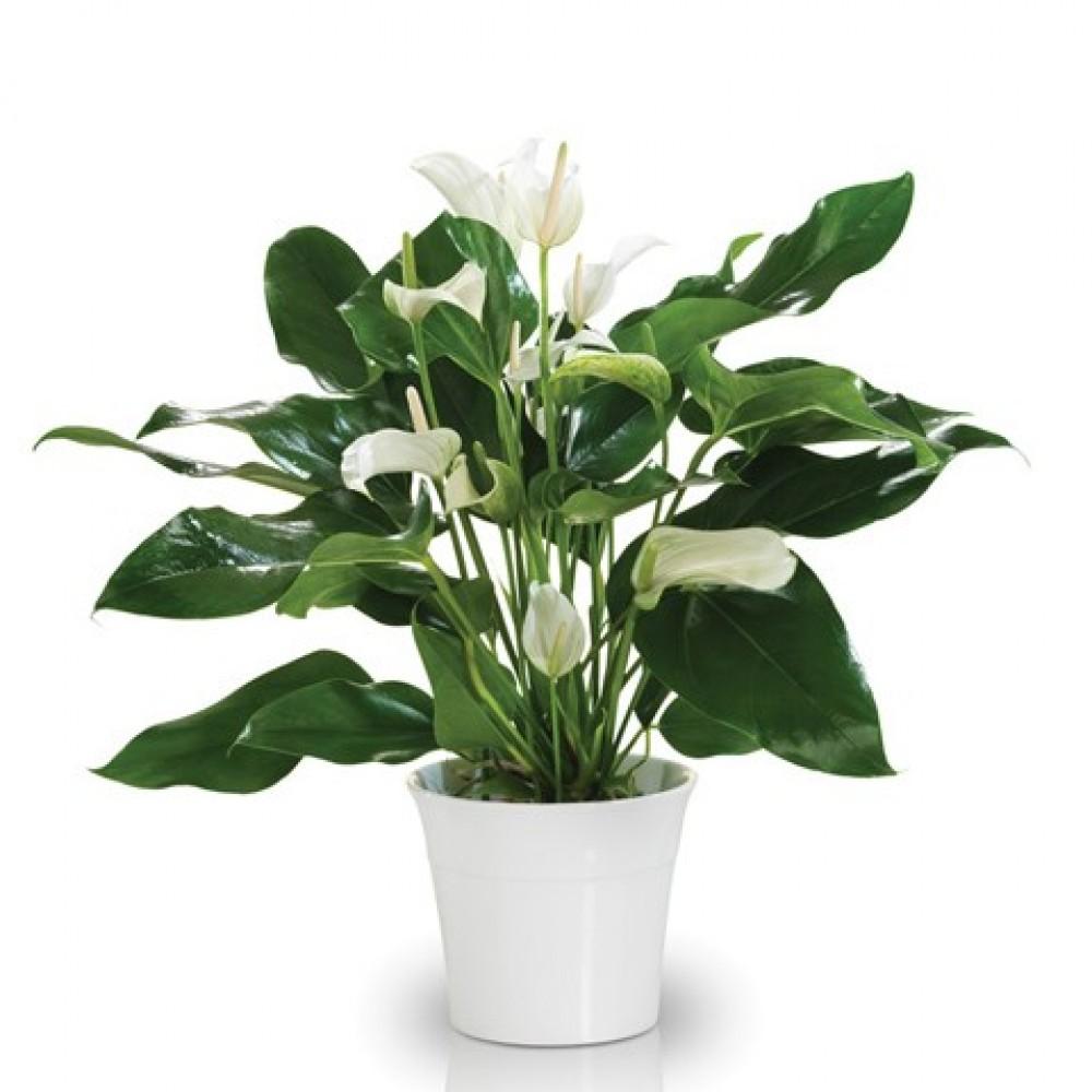 White Anthurium   Rosa Florist's