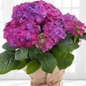 Purple Hydrangea