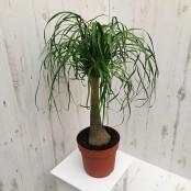 Pony Tail Palm (L)