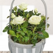 White Rose Basket